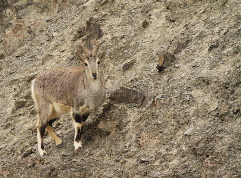 Bharal Pseudois nayaur 免版税库存图片