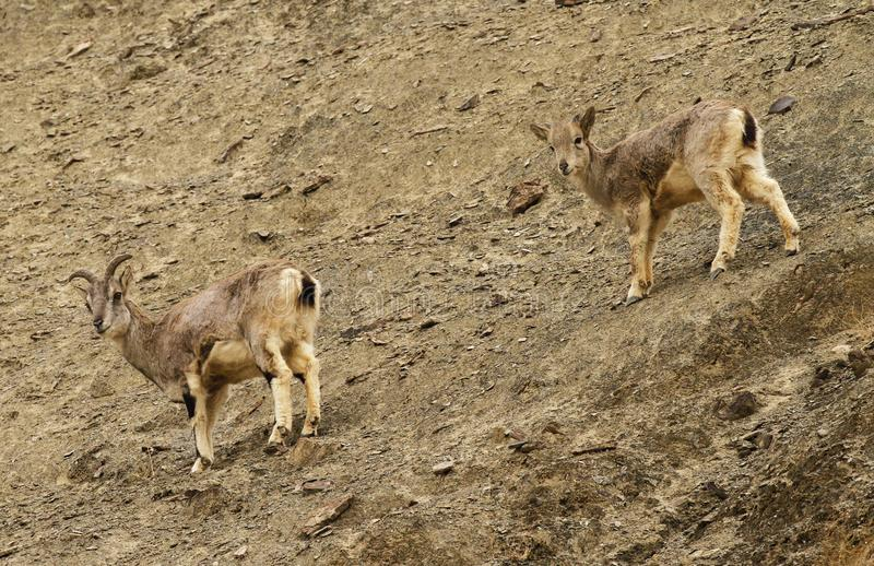 Bharals or blue sheep, Pseudois nayaur, in Rumbak Valley in Ladakh, India. Two bharals or blue sheep Pseudois nayaur descending a steep slope in Rumbak Valley in royalty free stock photos