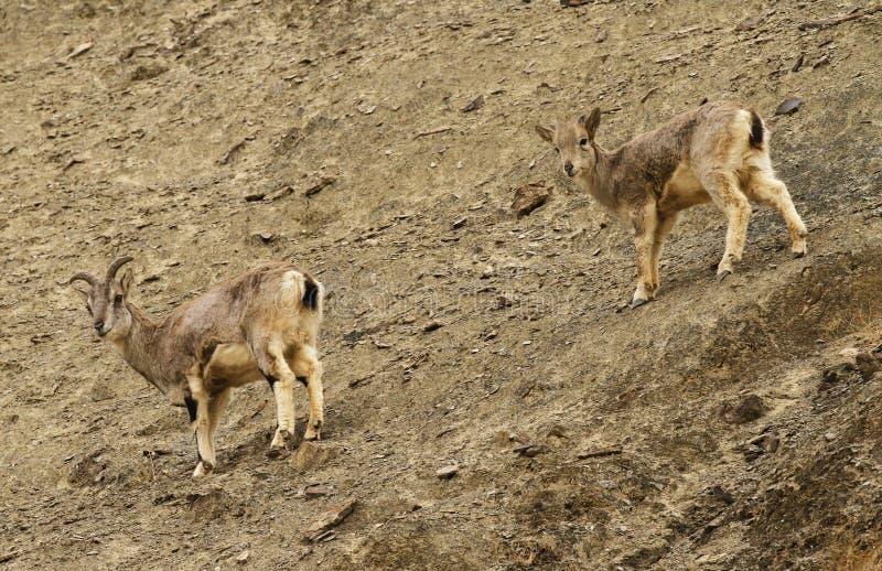 Bharals u ovejas azules, nayaur de Pseudois, en el valle de Rumbak en Ladakh, la India fotos de archivo libres de regalías