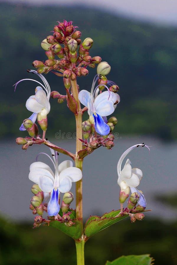 Free Bharangi Or Blue Fountain Bush Clerodendrum Serratum Stock Photography - 112250892
