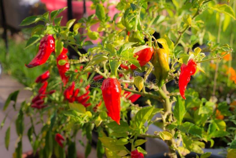 Bhut Jolokia chili pieprz, jeden gorący pieprz w świacie Stwarza ognisko domowe robić ogrodnictwo, żywność organiczna, selekcyjna fotografia stock