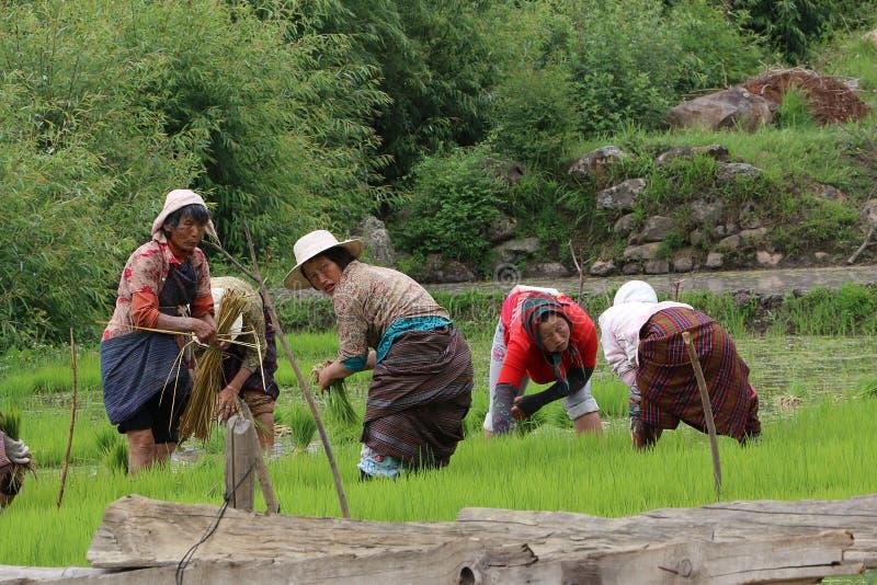 Bhutanese kobiet rolnicy Zbierają Rice: BHUTAN, JUN - 7, 2014 zdjęcia royalty free