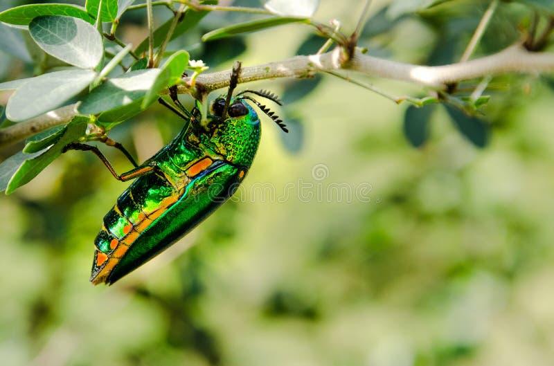 Download Biżuteryjny ściga Insektów Closup Zdjęcie Stock - Obraz złożonej z insekty, greenbacks: 65226282
