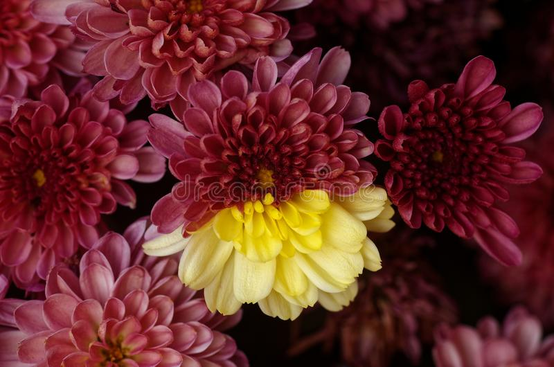 Bi Color Hybrid Chrysanthemum Bloomed in the same Plant. Close up royalty free stock image