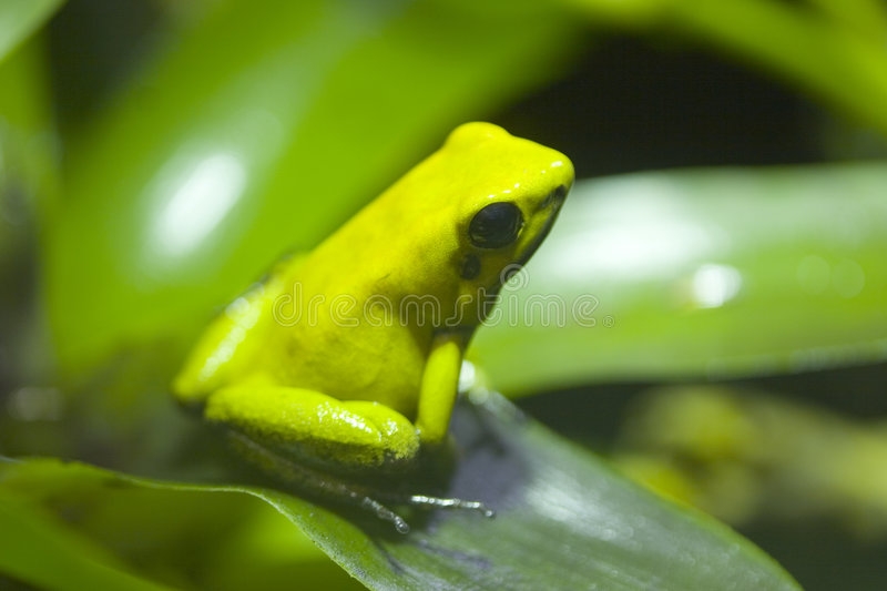 Bi-Colored Poison Dart Frog, Phyllobates Bicolor. The poison dart frog, poison arrow frog, dart frog or poison frog, is the common name given to the group of stock photos