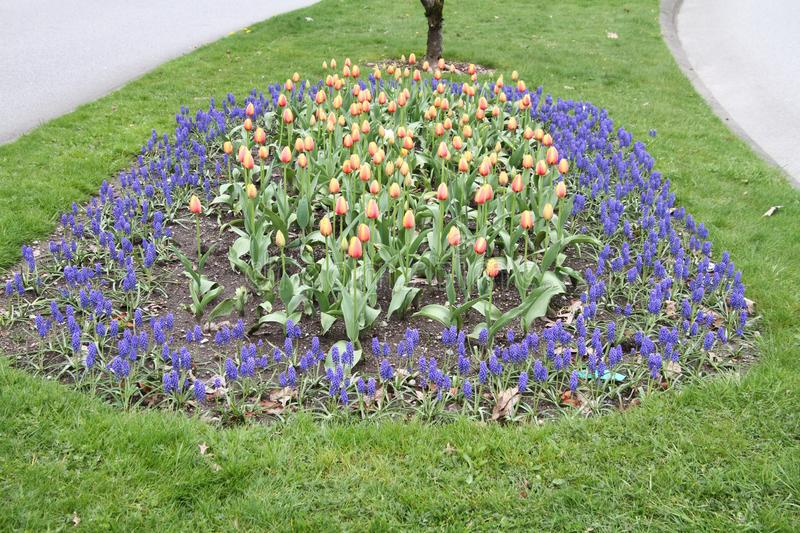 Bi-colored tulips in a garden plot stock photography