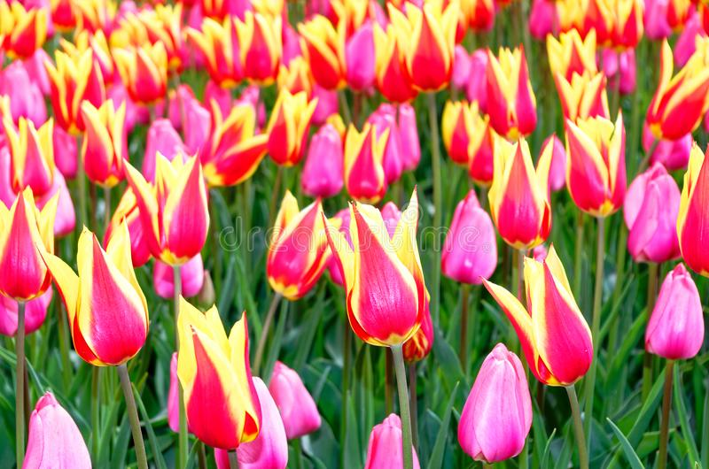 Bi-colored tulips in Keukenhof garden, Netherlands. Close-up photo of a field of bi-colored tulips in Keukenhof garden, Netherlands royalty free stock image