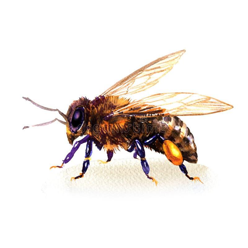 Bi eller europeisk eller västra honungbi för honungsbi, kryp, vattenfärgillustration på vit vektor illustrationer