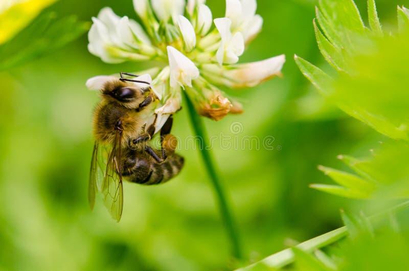 Bi för det västra honungbiet eller européhonungen - Apismellifera arkivbilder