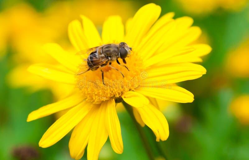 Bi i blomma fotografering för bildbyråer