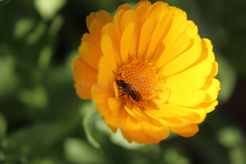 Bi i blomma royaltyfria foton
