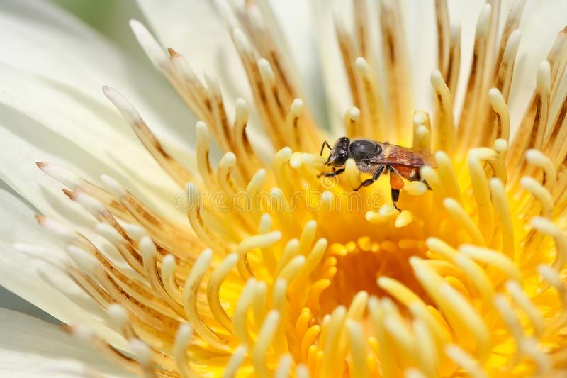 Bi i blomma för vit lotusblomma arkivbild