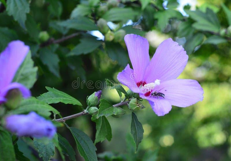 Bi i blomman arkivfoto