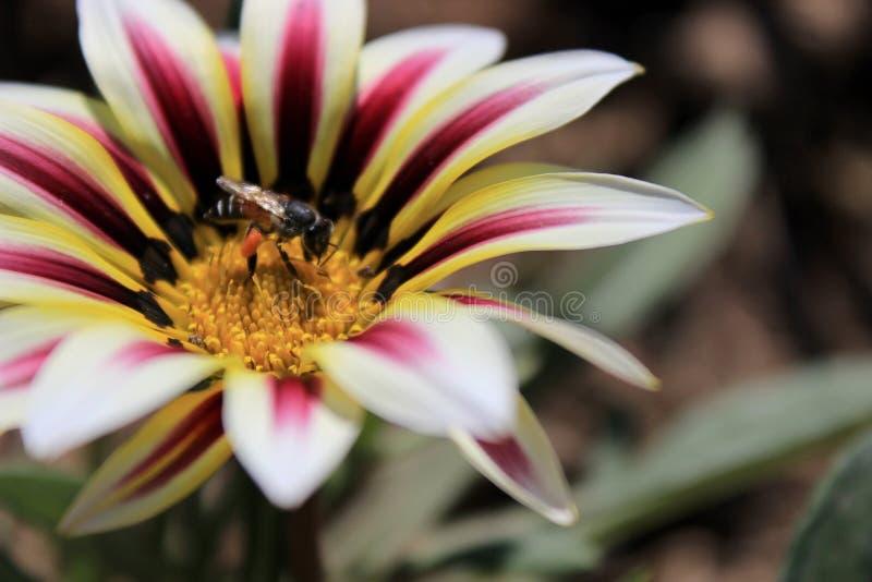 Bi i blomman arkivfoton