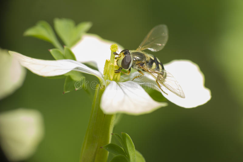 Bi i blomman (dipteraen) fotografering för bildbyråer