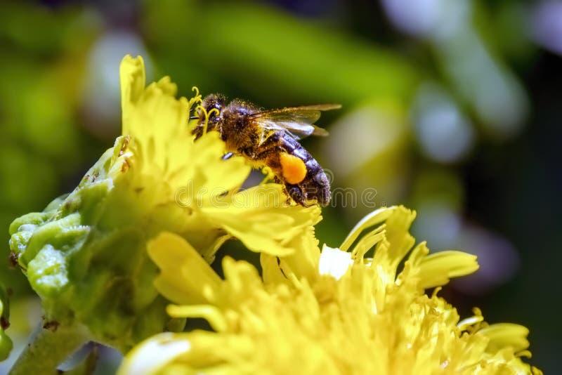Bi i en blomning med tjocka pollenpåsar arkivfoto