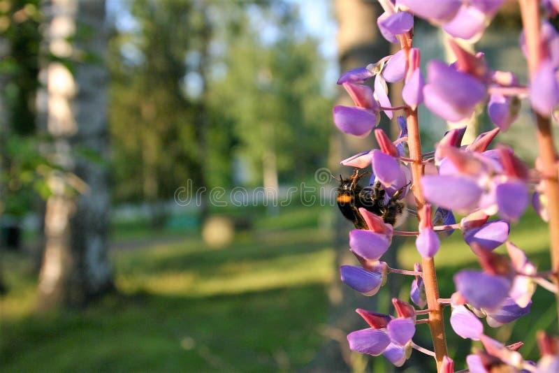 Bi i en lupine blomma på en sommardag royaltyfri fotografi