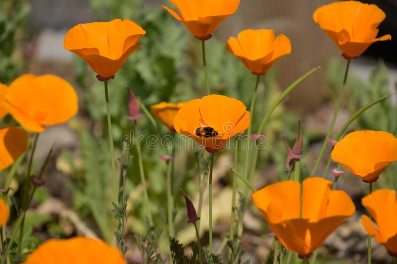 Bi i en orange blomma arkivbild