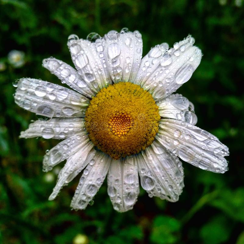 Bi i pollinationlynnet royaltyfria bilder