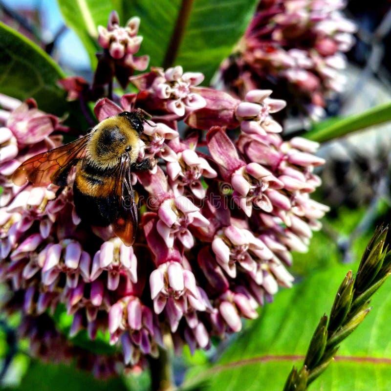 Bi i pollinationlynnet royaltyfri foto