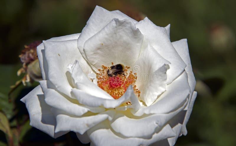 Bi inom vita Rose Southampton royaltyfri foto