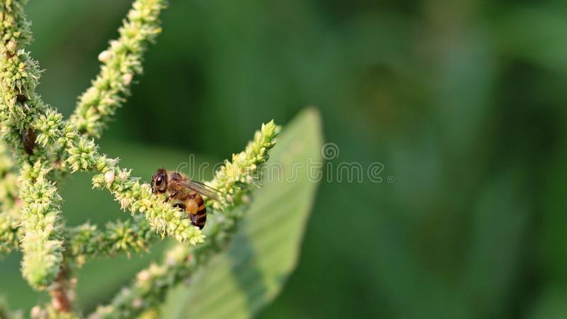 bi mot efterkrav den söta nektaret från spensliga amaranthblommor arkivfoto