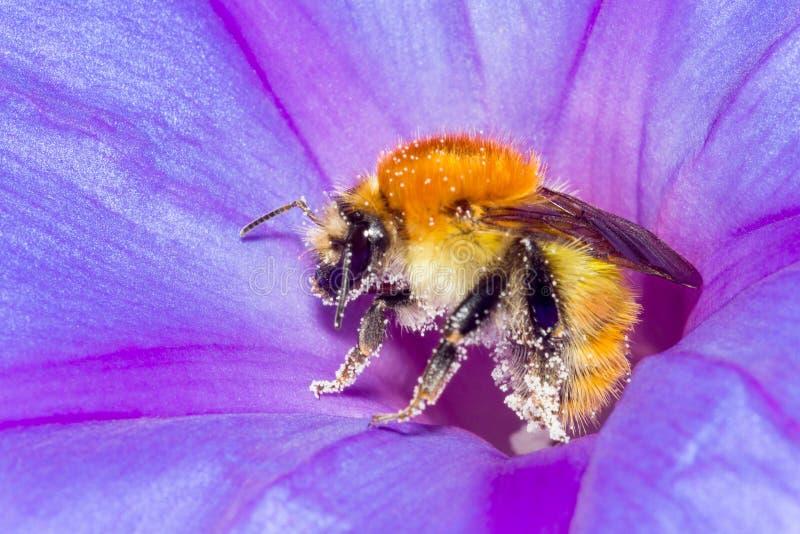 Bi och blomma arkivfoto