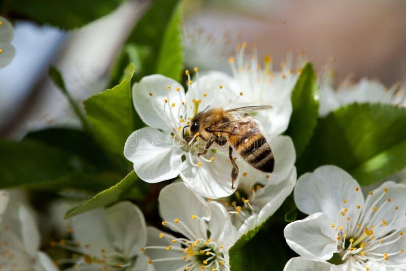 Bi och blomma arkivbild