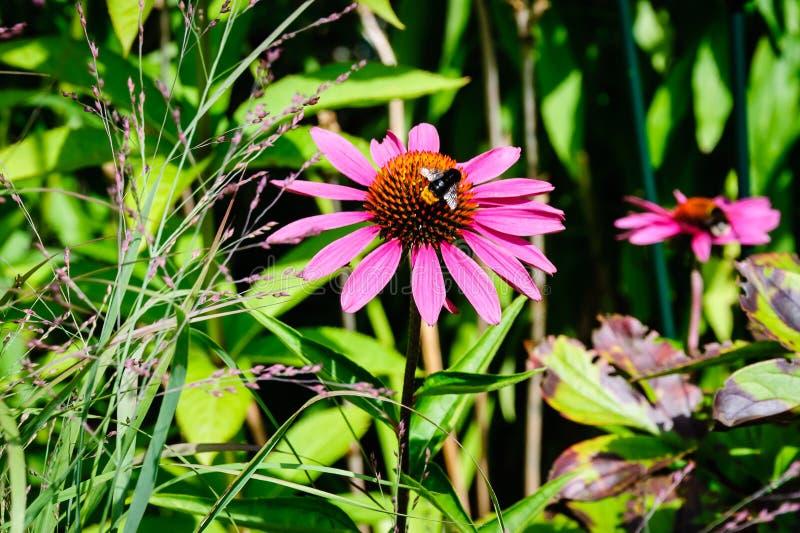 Bi och den rosa blomman fotografering för bildbyråer