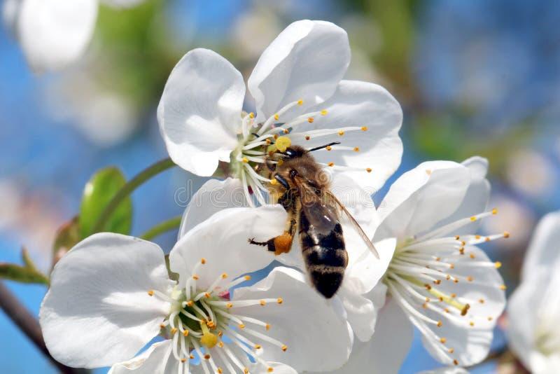 Bi och körsbärsröd blomning royaltyfri bild