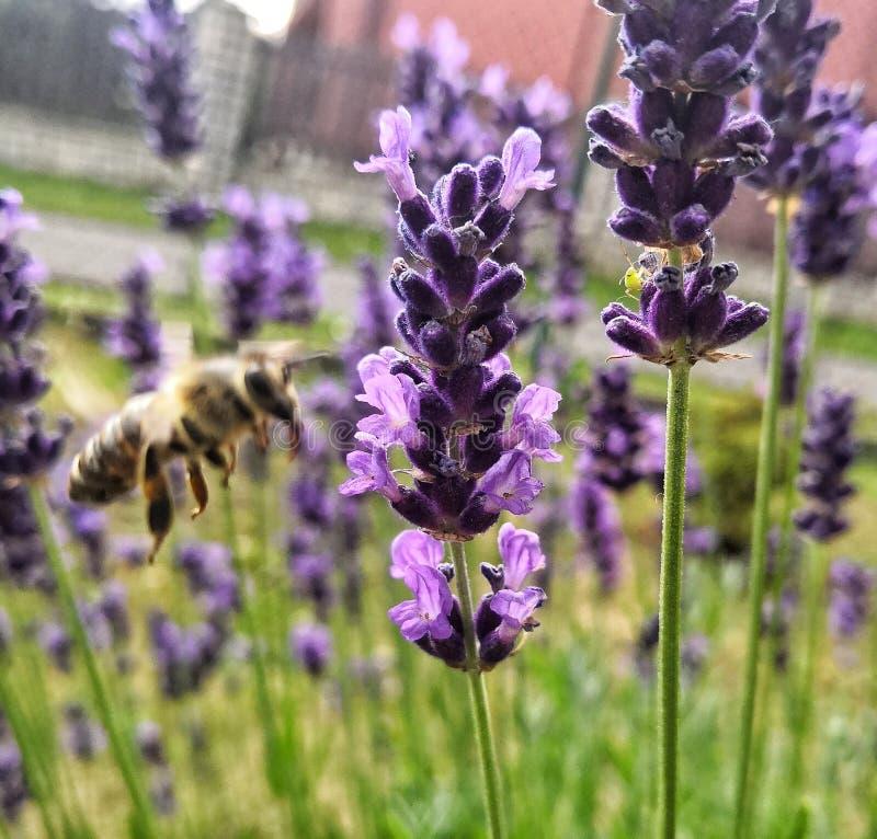 Bi och lavendel arkivfoto