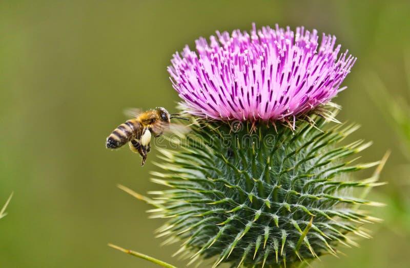 Bi och lilablomma på våren fotografering för bildbyråer