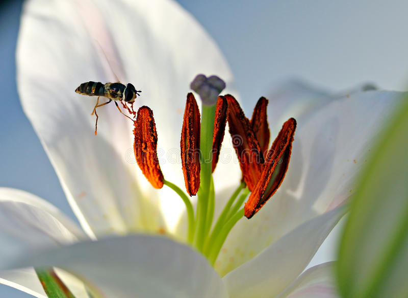 Bi och Pollen royaltyfri foto