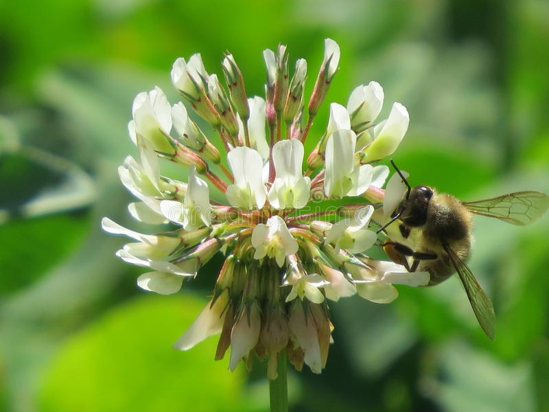 Bi och växt av släktet Trifolium arkivfoton