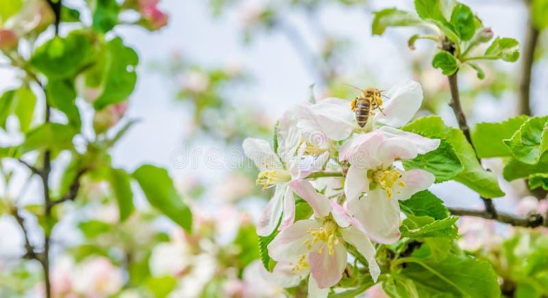 Bi på äppleblommor arkivfoton
