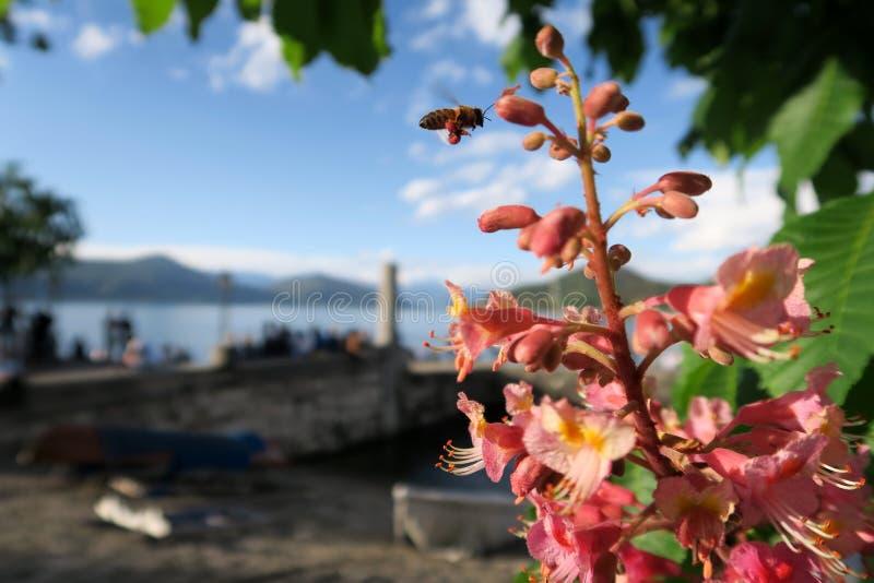 Bi på arbete på blommor vid sjön arkivbilder