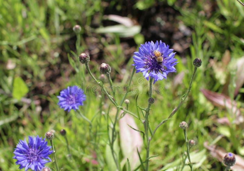 Bi på blåklint i sommartid i ängen för pollination arkivfoton