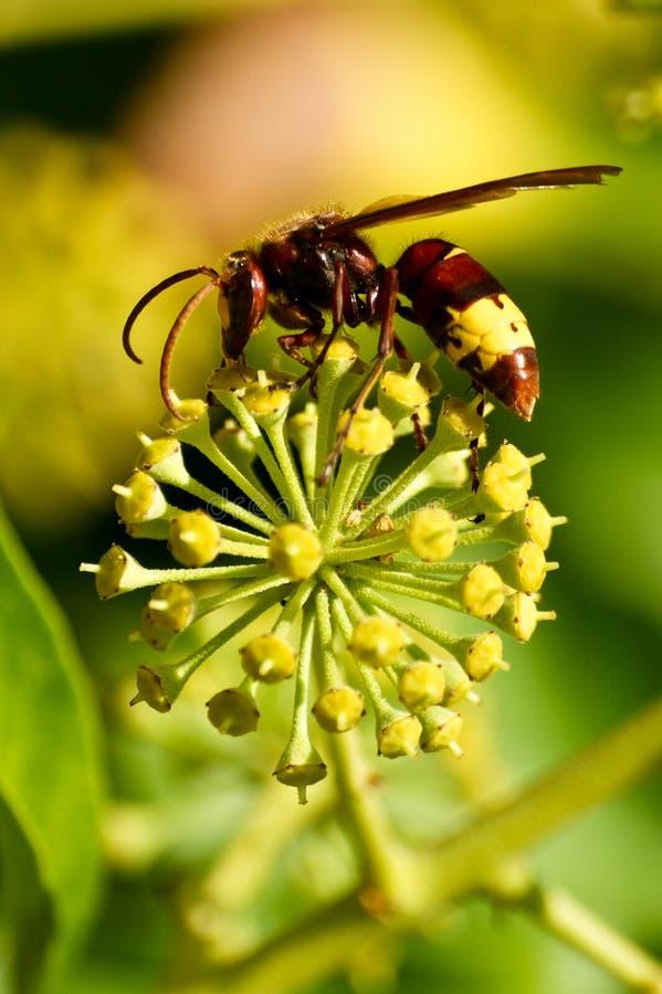 Bi på blomman arkivfoton