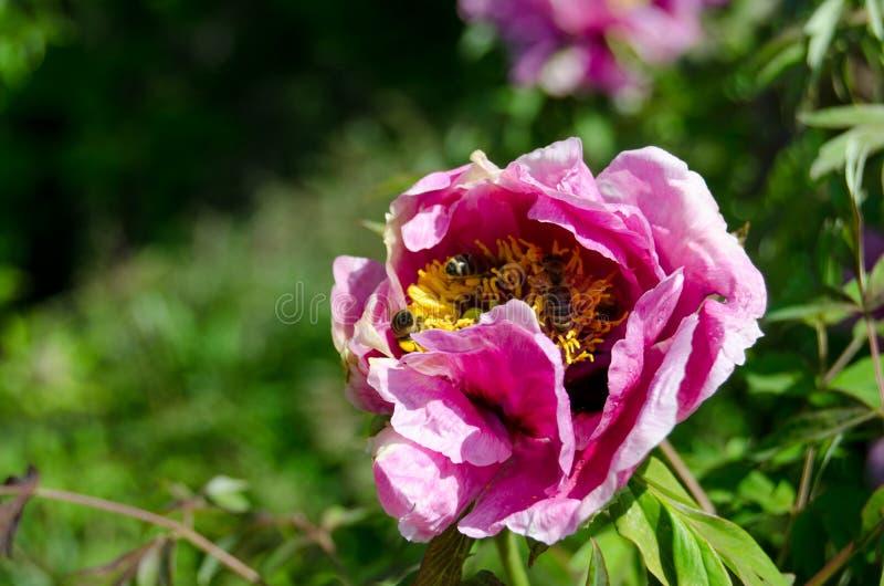 Bi på blomman royaltyfri foto