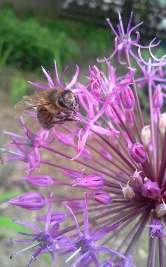 Bi på blomman royaltyfri fotografi