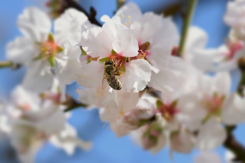 Bi på blomman för mandelträd arkivbild