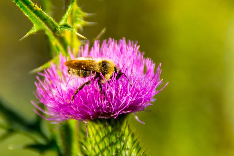 Bi på blomman, pollination av ogräs som samlar nektar royaltyfri fotografi