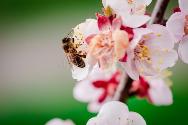 Bi på blommor royaltyfri fotografi