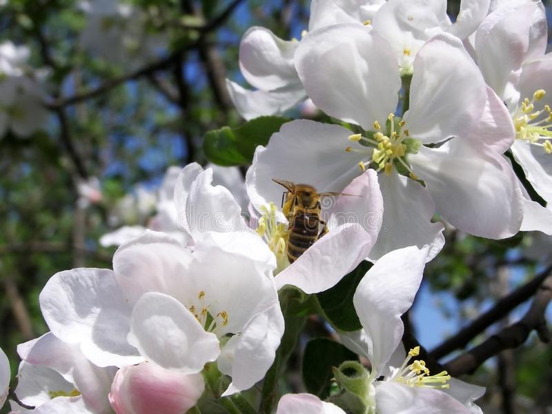 Bi på blommor av Apple-trädet arkivbilder