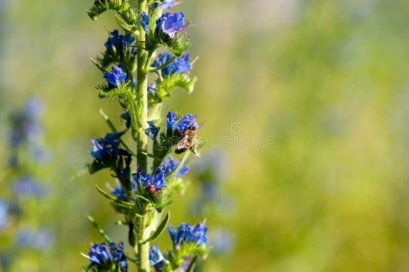 Bi på blueweedblomman arkivfoto