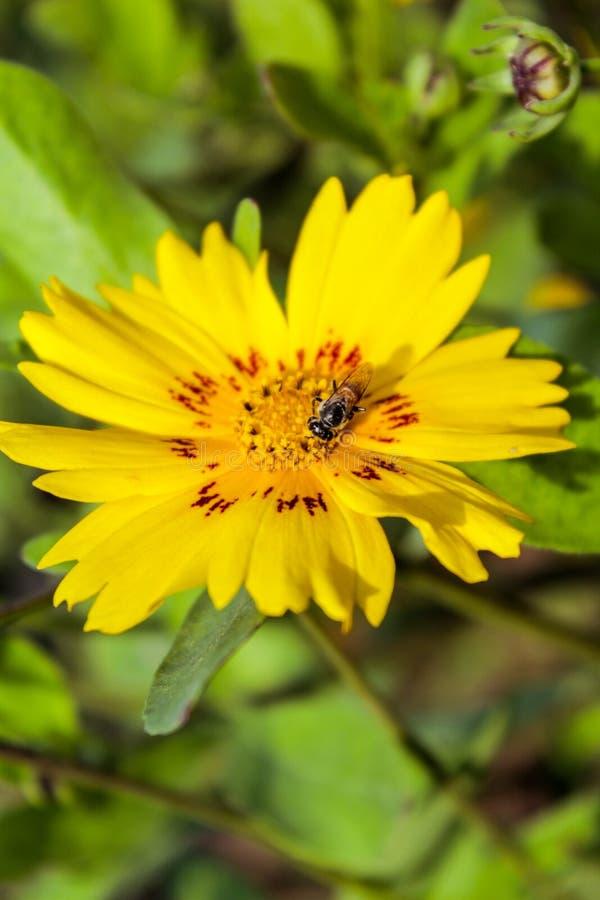 Bi på den enorma gula blomman royaltyfri fotografi