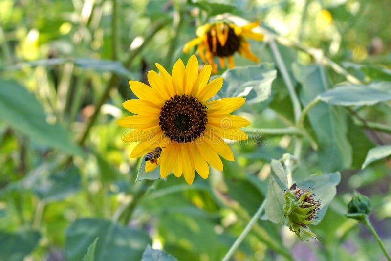 Bi på den gula solroscloseupen fotografering för bildbyråer