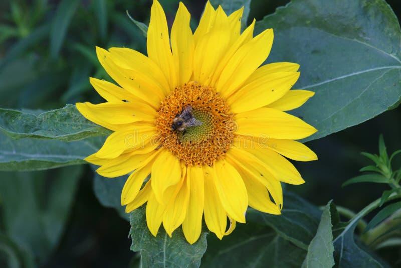 Bi på den gula solrosen royaltyfria bilder