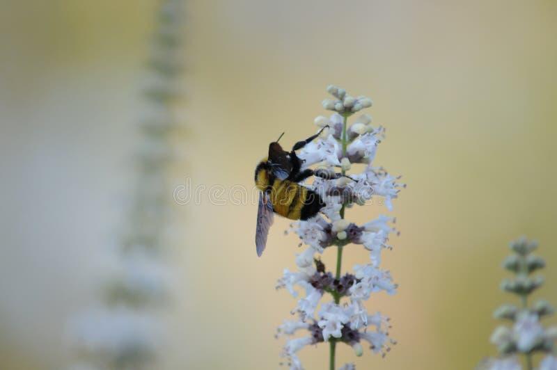 Bi på den vita blomman för fjärilsbuske royaltyfria foton