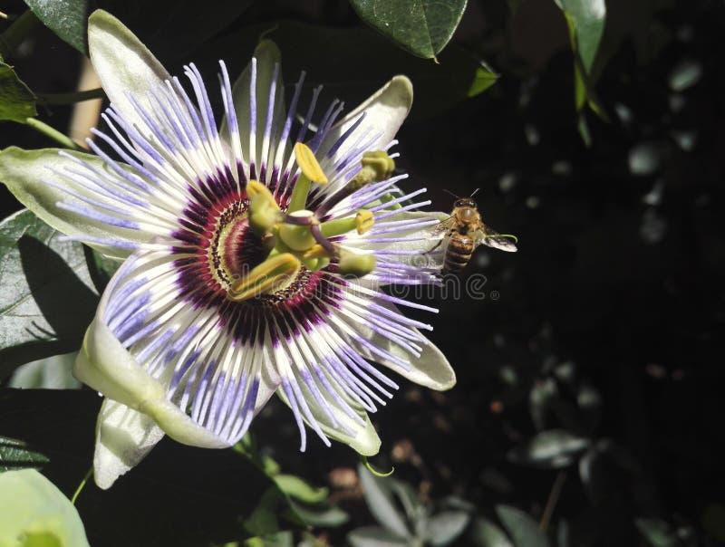 Bi på en blå passionsblomma, passifloracaerulea royaltyfri fotografi